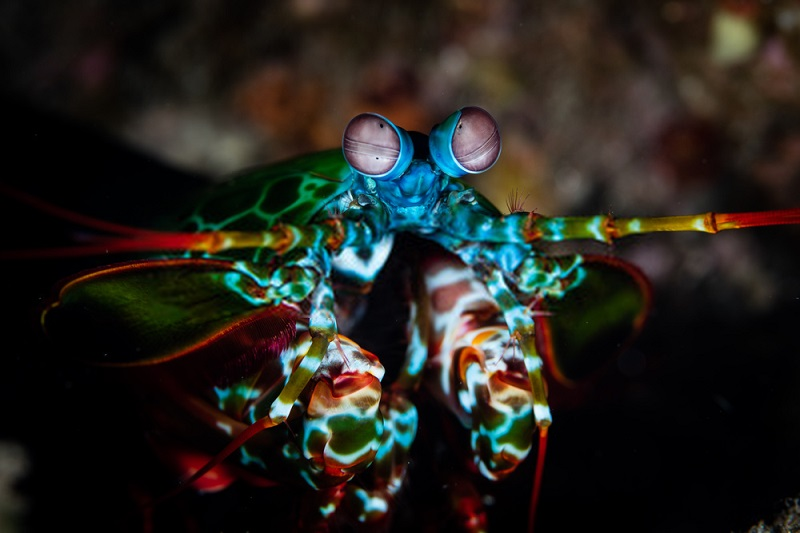 Peacock Mantis Shrimp in the Coral Triangle shows off its bright warning coloration, and likely has many colors and patterns our eyes cannot detect.