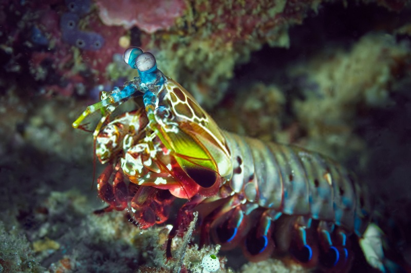Peacock mantis shrimp crawl out of their burrows to hunt, impale fish with their spear-like appendages, and drag them back into the burrow.
