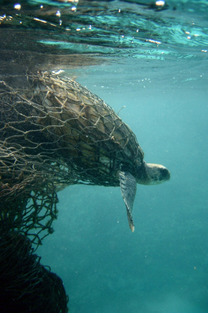 Turtles suffer from plastic waste in many ways.