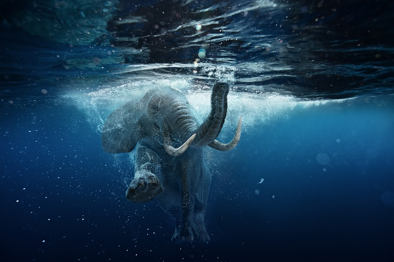 African Elephants can use their trunk as a snorkel while they swim.