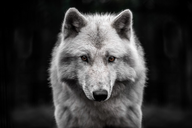 Arctic wolves come in several color variations on a scale from fully white to grey/brown, and often have seasonal changes in their coat.