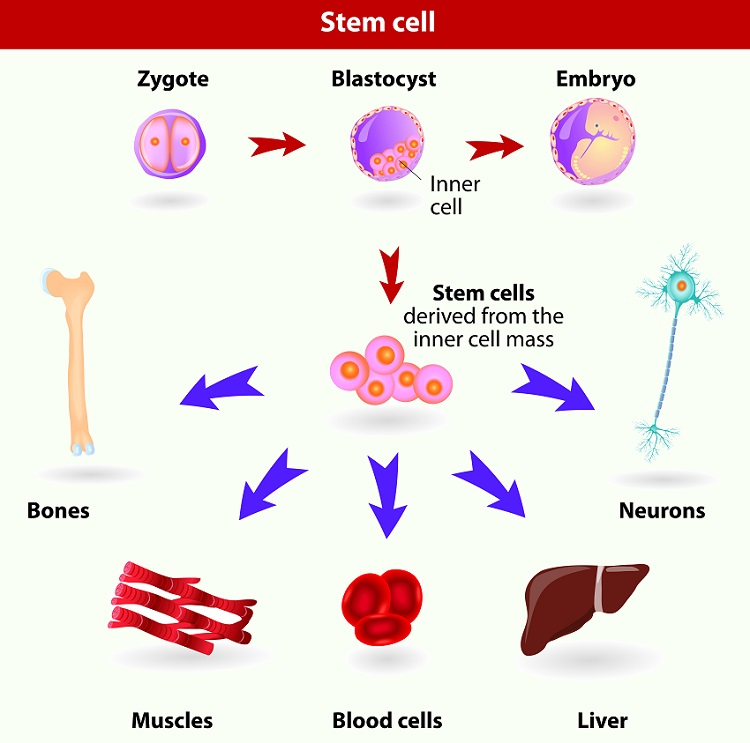 Embryonic stem cells originate as inner cell mass cells within a blastocyst