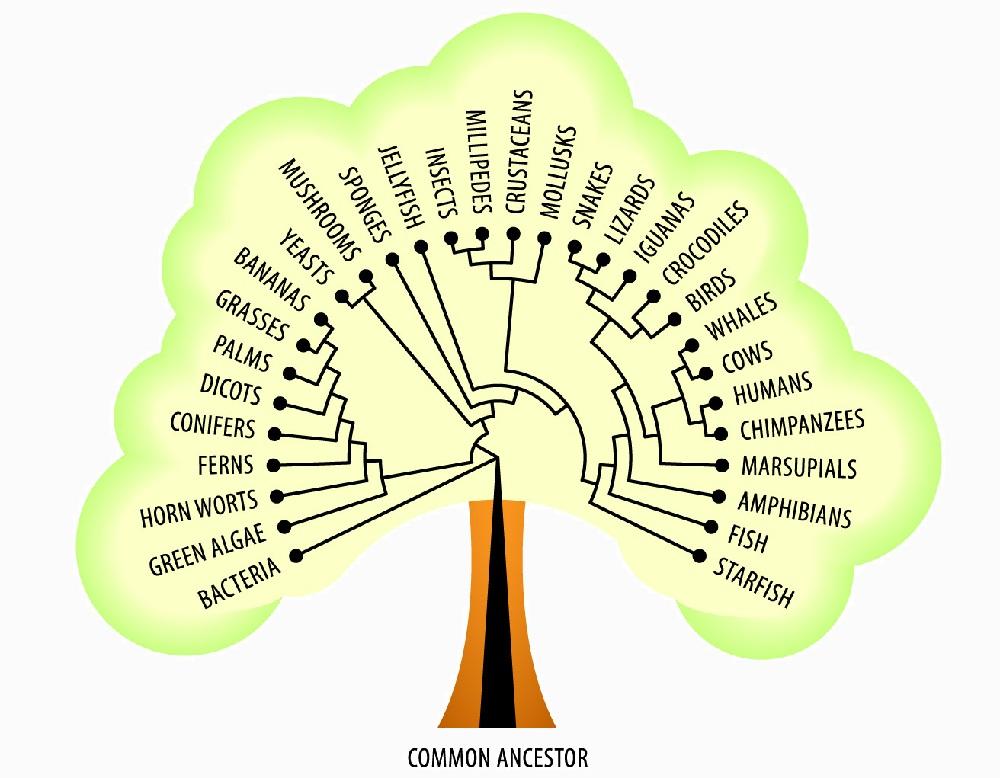 Evolutionary tree of life