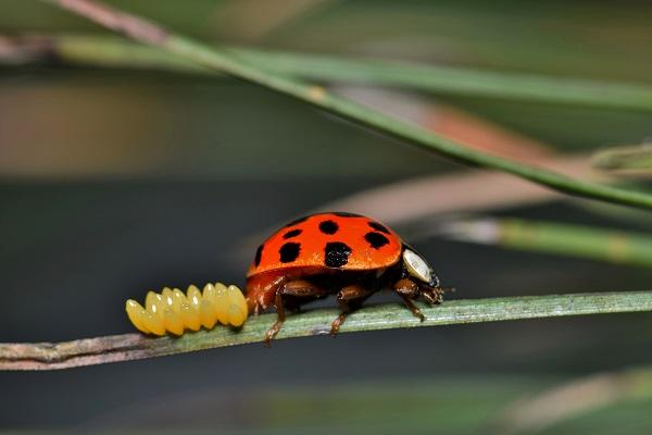 Ladybird beetle laying eggs