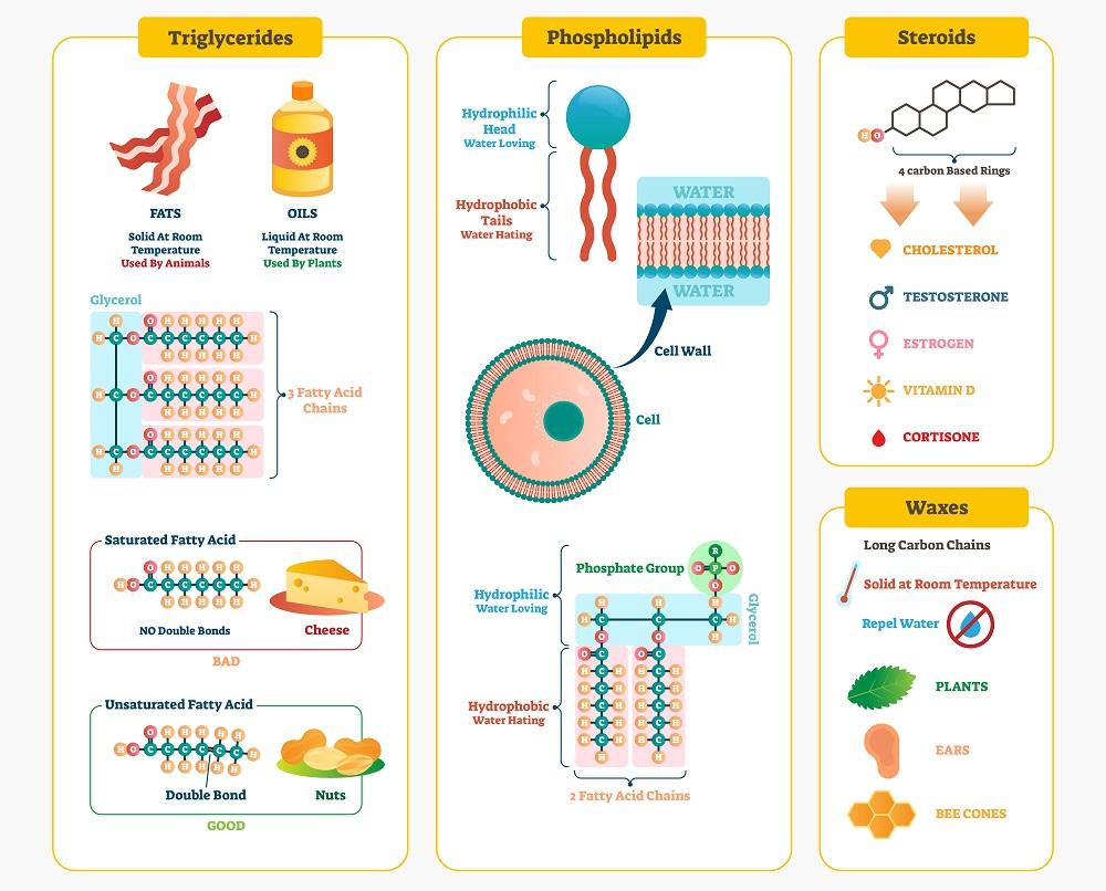 Lipids illustration