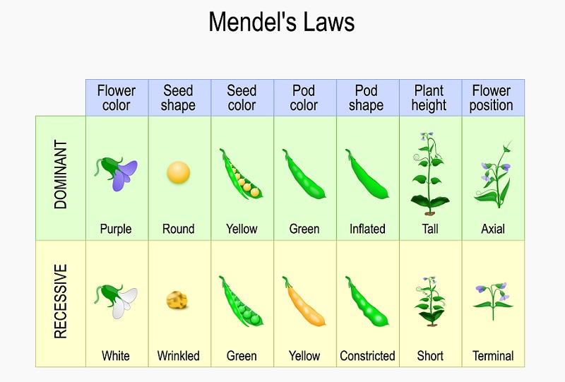 Mendel's Garden Pea Plant Experiment