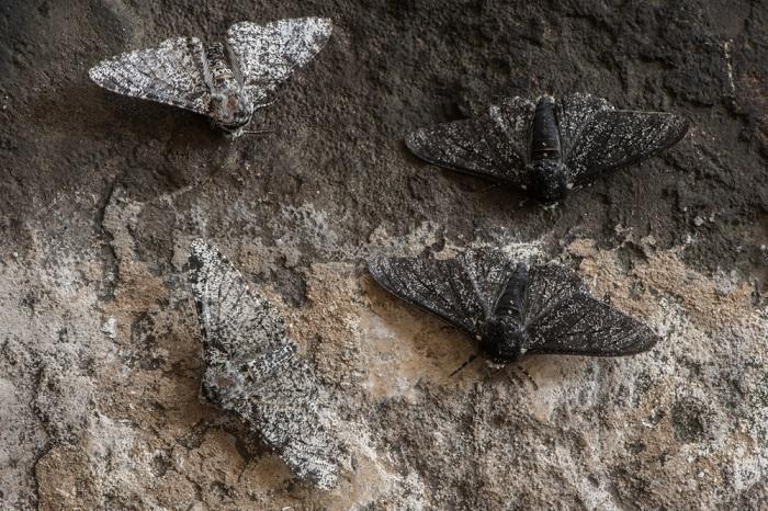 Peppered moth (Biston betularia)