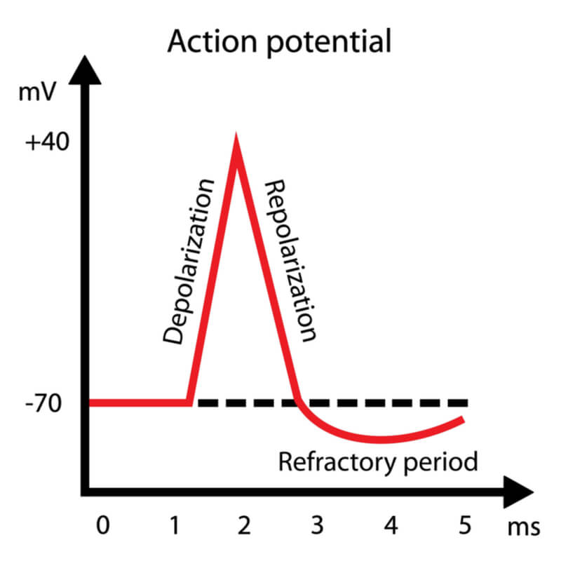 Graph of an action potential during depolarization, repolarization, and the refractory period