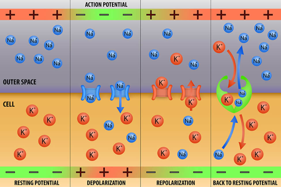 Diagram of sodium and potassium ion movement across a membrane during the three stages of an action potential