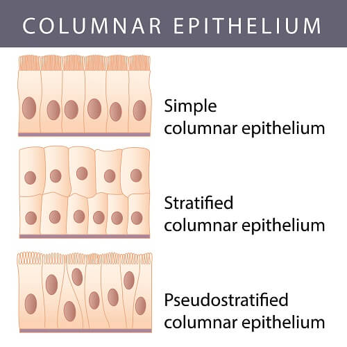Types of columnar epithelium formed by epithelial cells