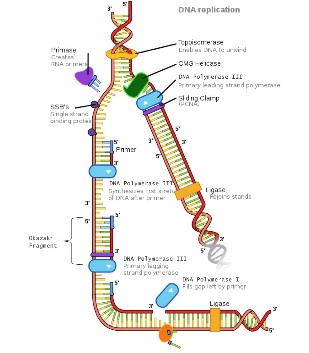 DNA replication emphasizing the Okazaki fragments needed on the lagging strand