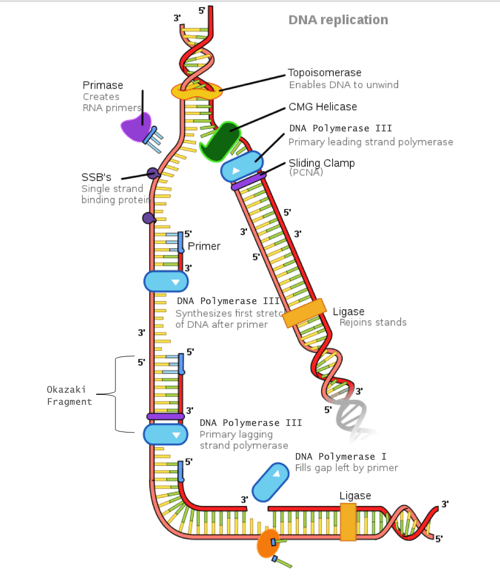 Dna Replication The Definitive Guide Biology Dictionary