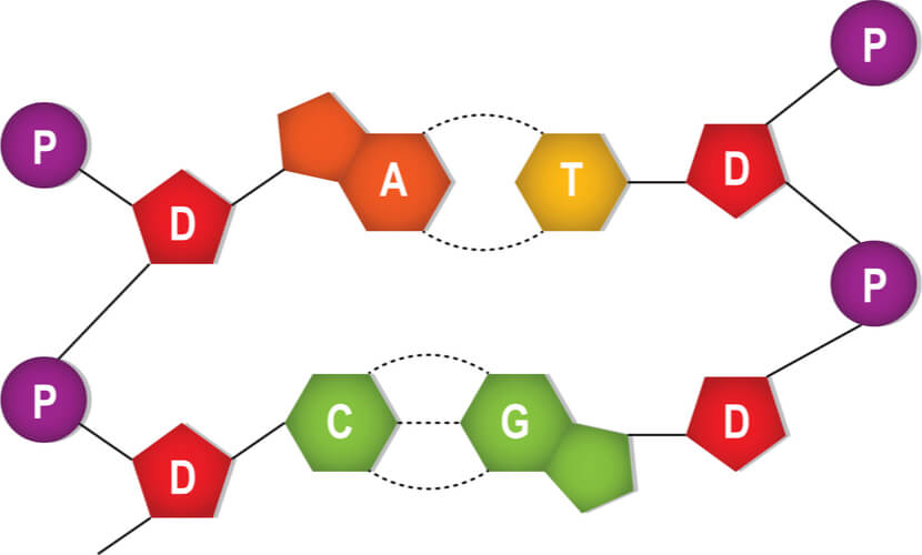 Adenine nucleotide pairs with thymine and cytosine nucleotide pairing with guanine