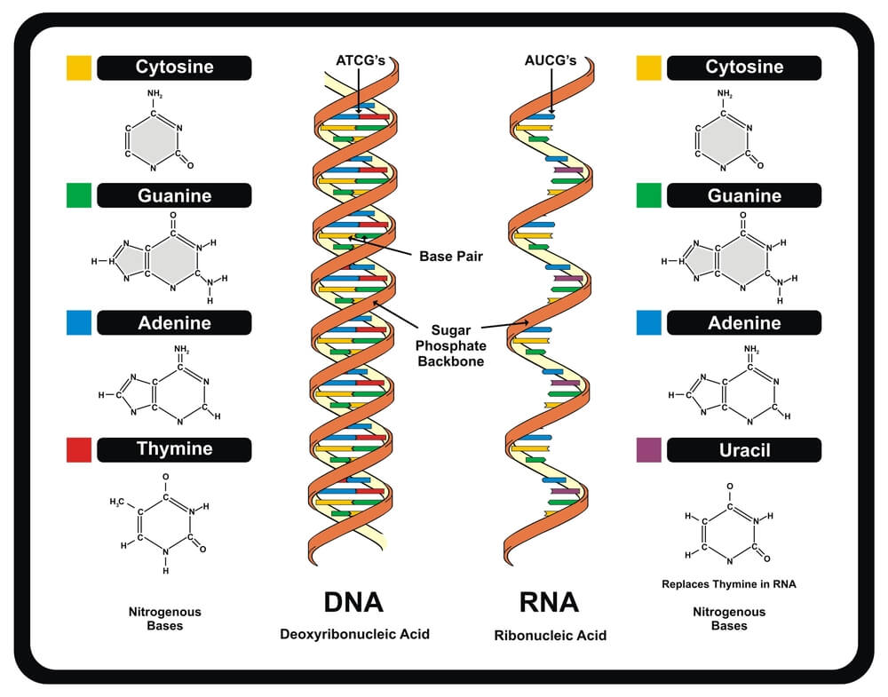 stop codon DNA RNA differences structure nucleotide bases strands
