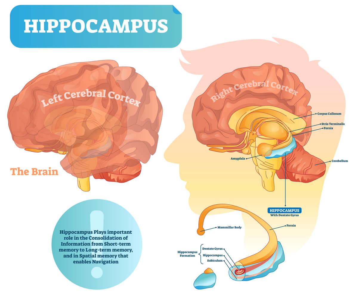 Hippocampus location in cerebrum with breakdown of sub-parts