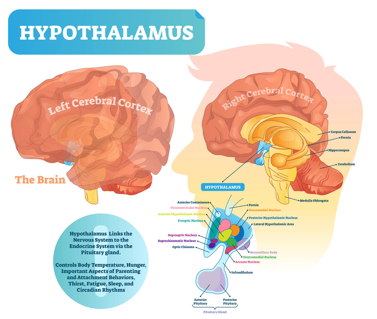 Hypothalamus localization in brain with functions listed and connection to pituitary gland illustrated