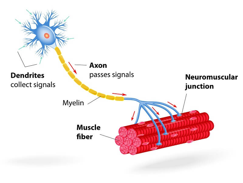Labelled motor neuron diagram