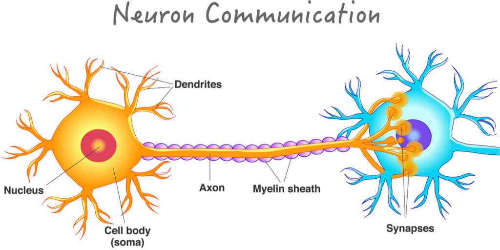 Neuron attached to second neuron for signal transduction