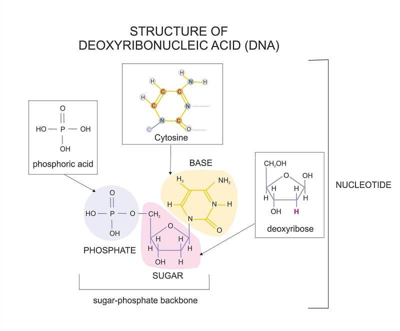 Structure of DNA nucleotide