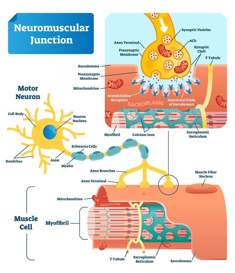 Overview of the mechanism of signalling at a neuromuscular junction