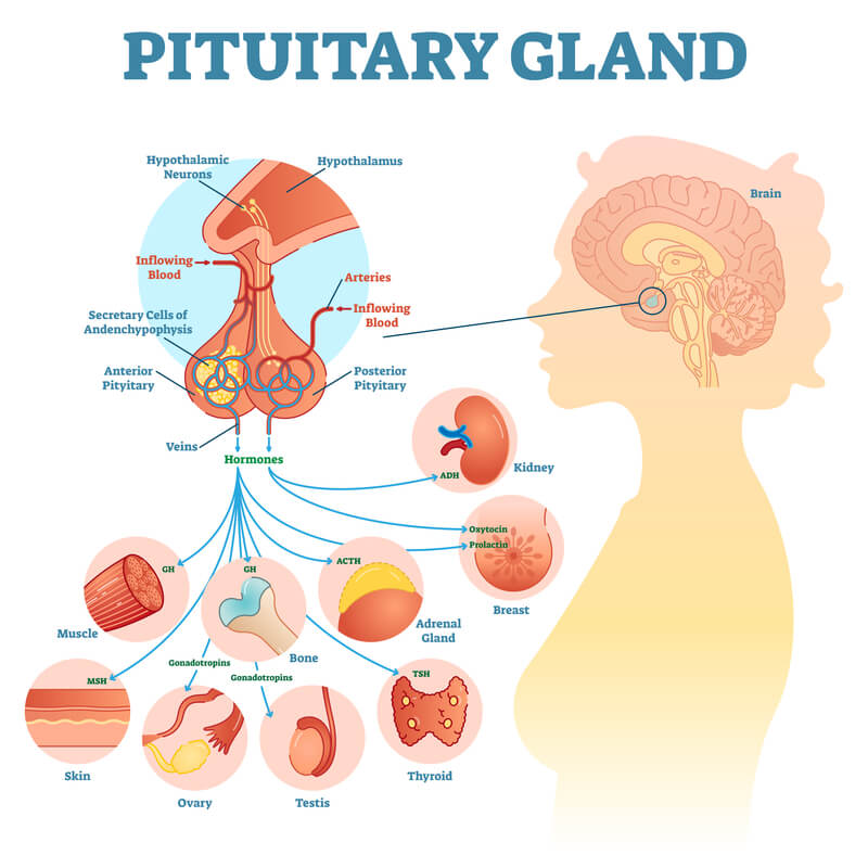Sections of pituitary gland and the corresponding hormones released by section