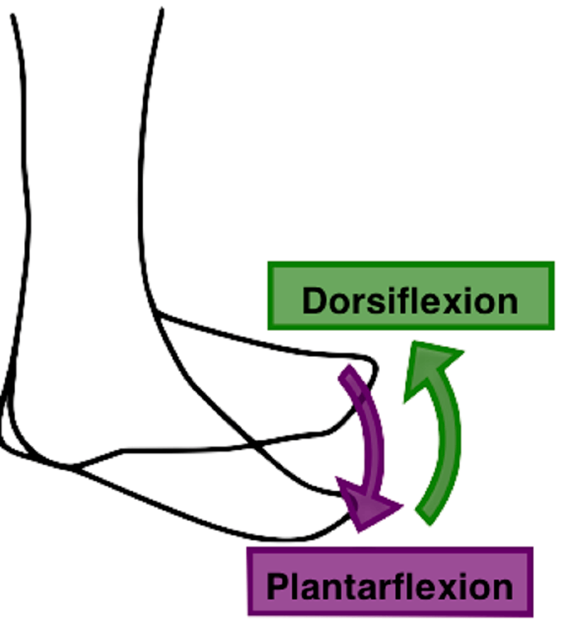Plantar flexion vs dorsiflexion