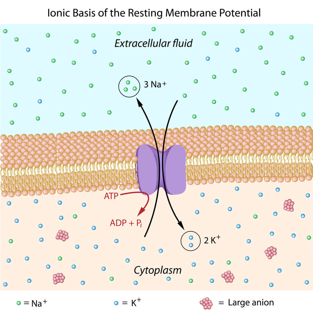 Resting membrane potential of a neuron showing the movement of sodium and potassium ions across the membrane