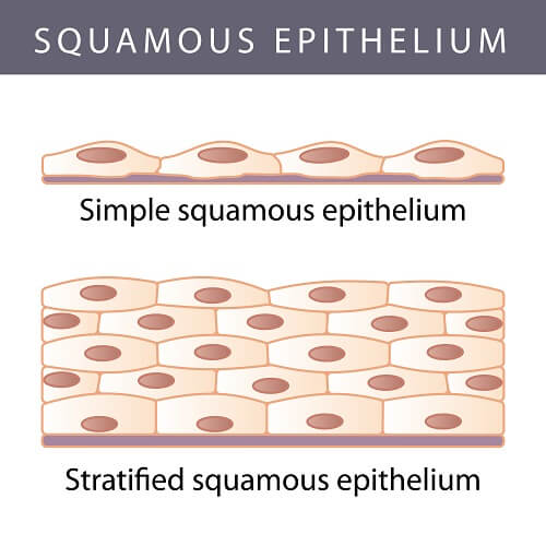 Types of squamous epithelium formed by epithelial cells
