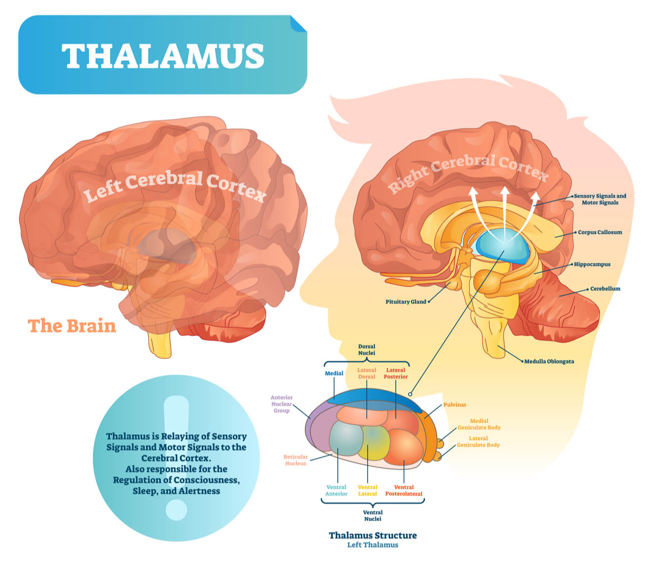 Diagram of the thalamus interacting with the cerebral cortex