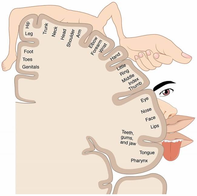 homunculus brain map sensory cortex