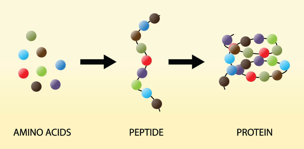 stop codon amino acid protein synthesis polypeptide chain