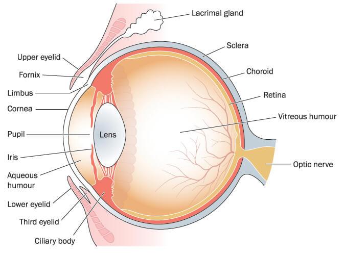 anatomy eye lens ciliary cornea pupul retina trigeminal optic nerve