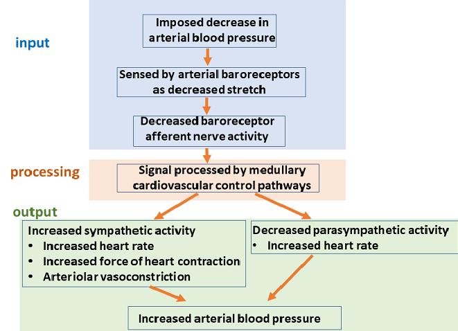 baroreceptor reflex chart aortic carotid medulla oblongata