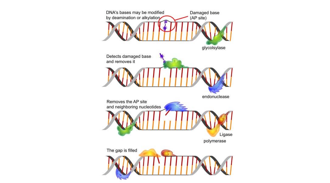 ber base excision repair DNA polymerase