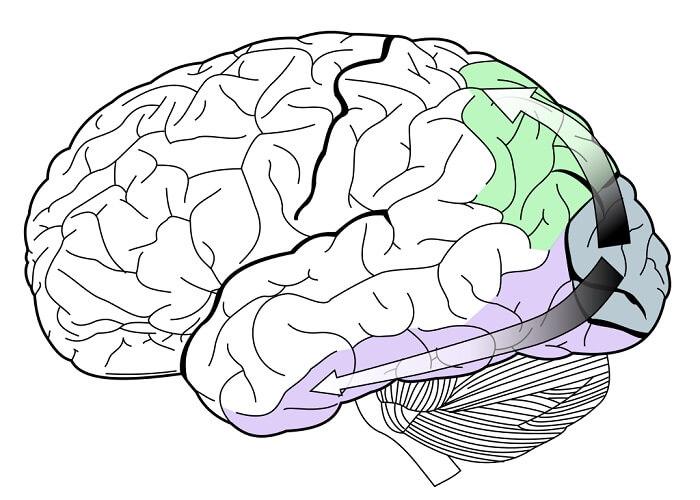 dorsal stream ventral parietal temporal visual primary secondary cortex