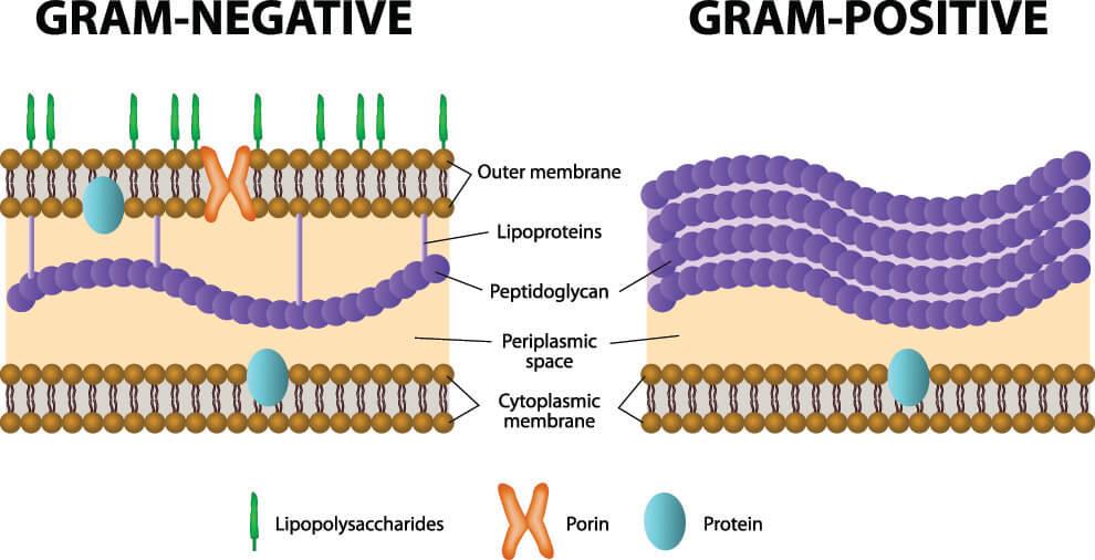 gram positive negative peptidoglycan membrane antiobiotic resistance