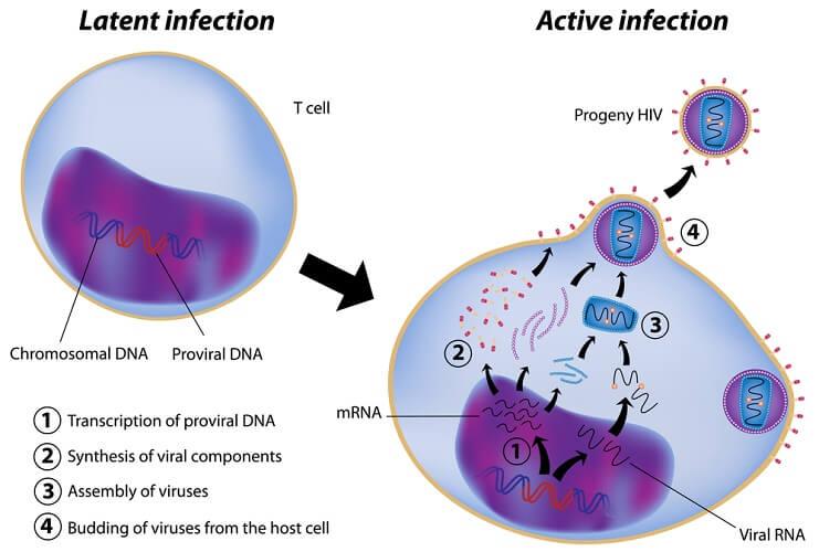 HIV infection mechanisms virus viral DNA RNA