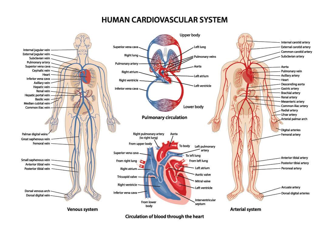junctional rhythm cardiovascular system human blood flow