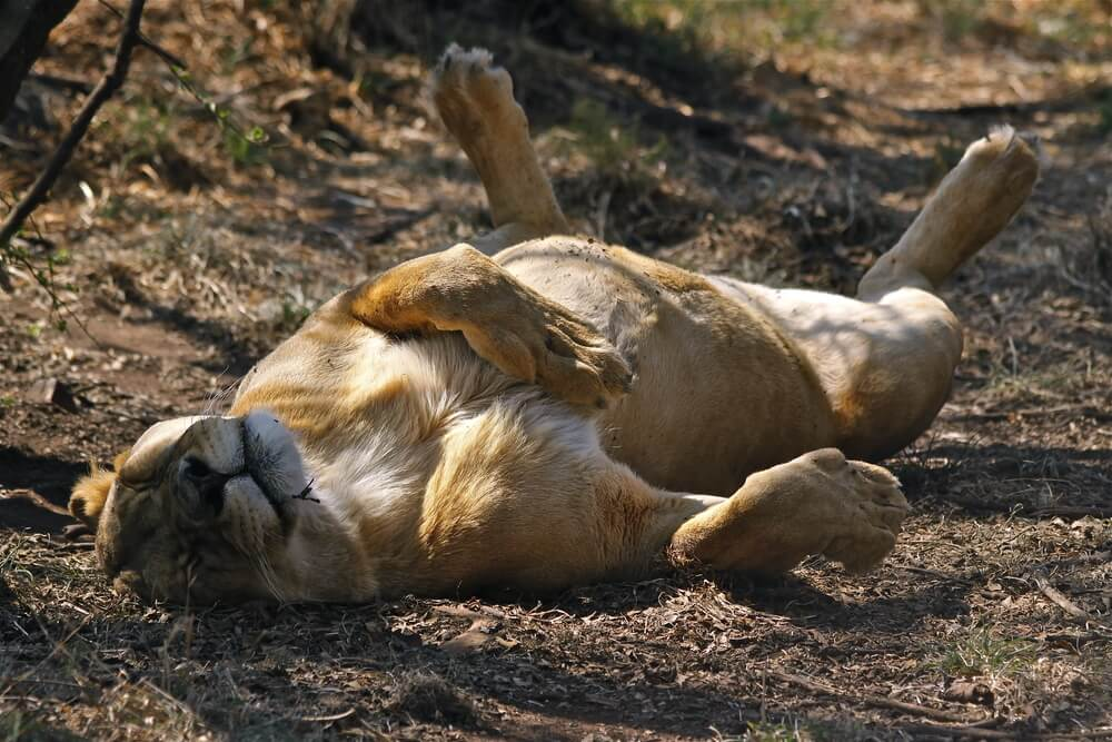 circadian rhythm sleeping lion body biological clock