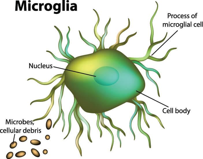 microglia glia glial nerve brain