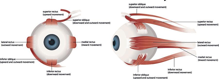 muscles human eye cranial nerve movements