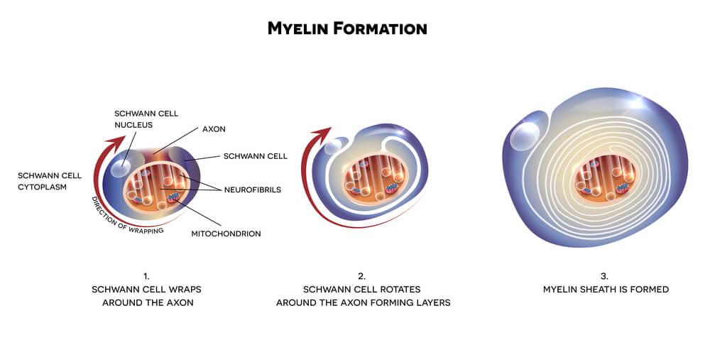myelin Schwann cell glia glial