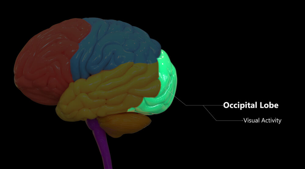 Occipital Lobe - The Definitive Guide   Biology Dictionary