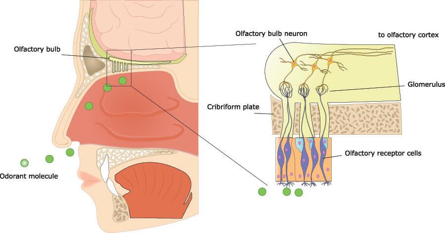 oflactory system sense of smell cranial nerve nose