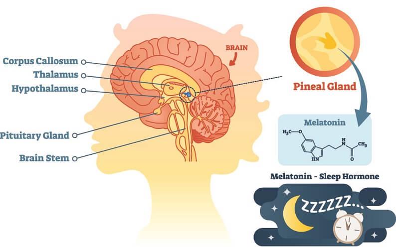 pineal gland sleep melatonin consciousness reticular formation