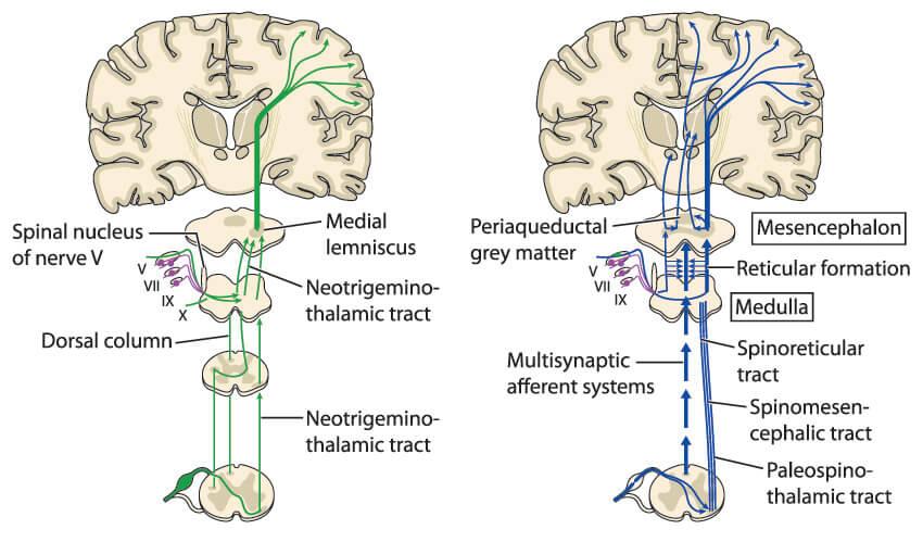 medulla oblongata reticular formation pathways