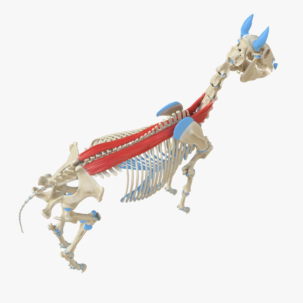 spinalis muscle erector spinae horse anatomy spine vertebrae