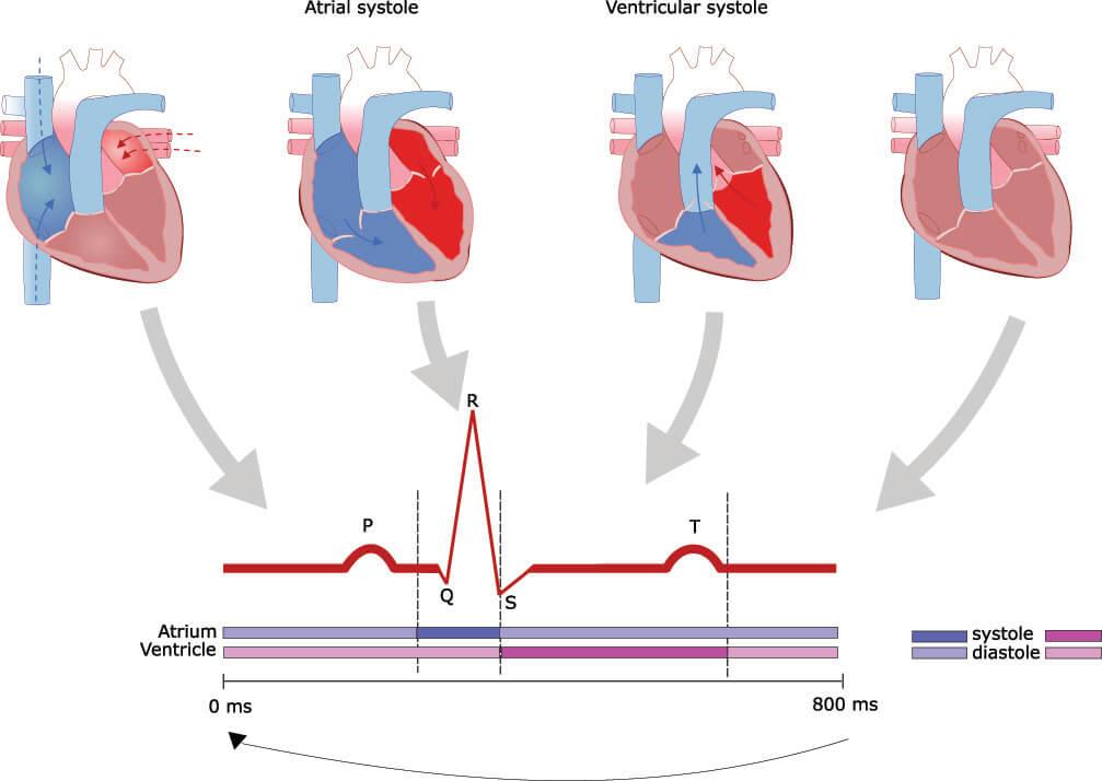 systole diastole heart beat conduction electrocardiogram ecg