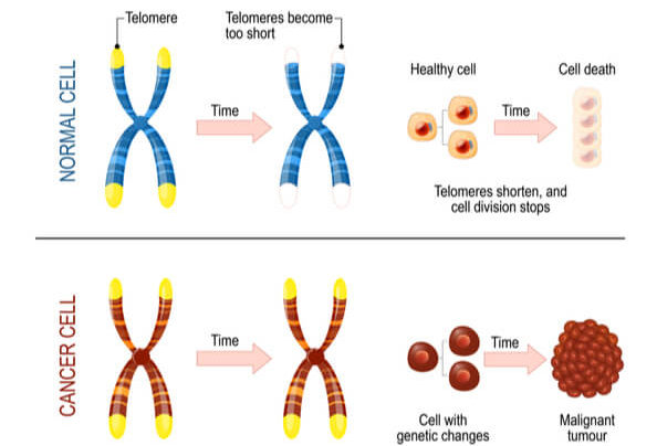 Graphic of chromosomes in normal cells with limited cellular division vs cancer cells and uncontrollable division