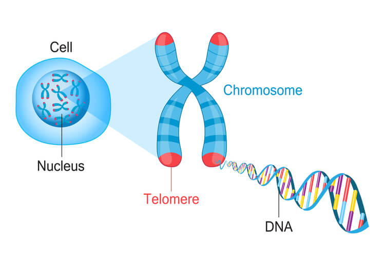 Chromosome with highlighted red tips to indicate telomeres with closeup of DNA double helix